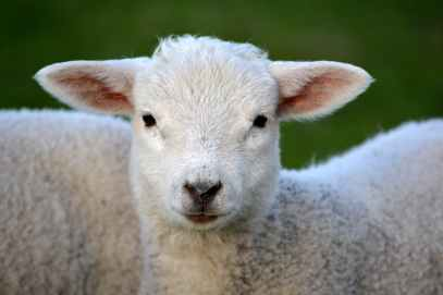 white coated lamb